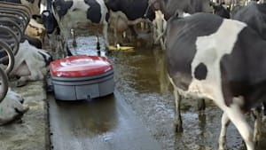 Robotic scrapper that vacuums poop in barns helps reduce disease on dairy farms