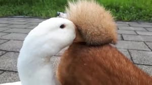 Duck rests its beak between dog's curled tail