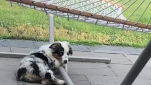 Aussie puppy tries to figure out the hammock
