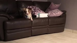 Puppy tries to jump on sofa, results in epic fail