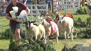 Sheep racing is a competitive event in England