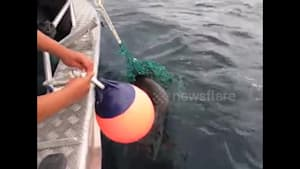 Fisherman rescues sea lion pup trapped in nets