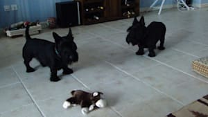 Skeptical Scottish Terriers confront new toy
