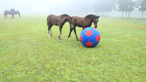 Playful foals having fun with giant toy ball