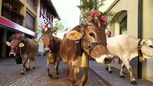 Südtirol: Kühe in Festkleidung kommen heim