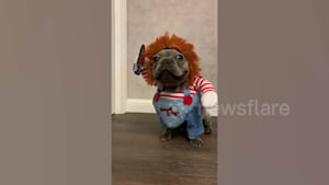 French bulldog puppy dressed in Chucky costume