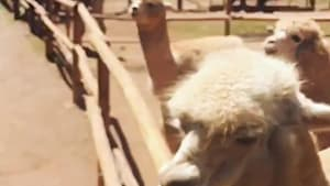 Man taken aback when alpaca spits on his face