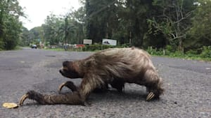 Up-close footage of sloth crossing the road