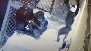 Adorable video shows mother-daughter chimp moment