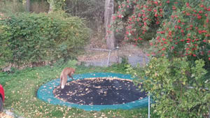 Fox bounces on a trampoline