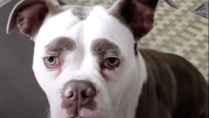Nobody can beat this dog's eyebrow game