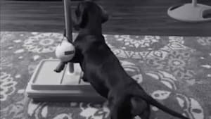 Cute dachshund dogs play with tether ball