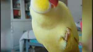 This parrot thinks he's a banana
