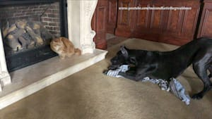 Cat not impressed with overly playful Great Danes