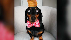 Adorable dog balances delicate items on his head