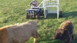 Farming device quickly wrangles baby cattle