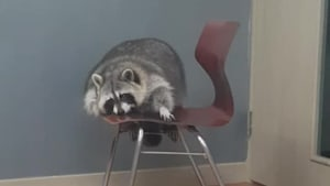 Raccoon humorously attempts to climb onto chair