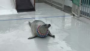 Trained seal catches rings around its neck
