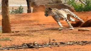Watch cheetah display impressive speed and agility