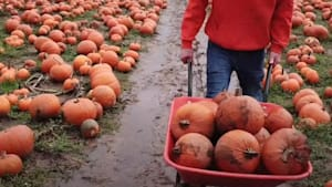 Largest pumpkin patch produces 25k pumpkins
