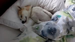Ihr Hund soll zum Tierarzt, da entdeckt sie ihn reglos im Bett