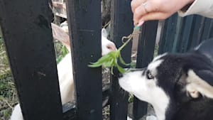 Husky extremely fascinated by goat neighbor