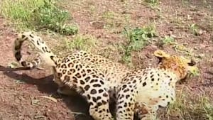 Paralyzed leopard makes miraculous recovery