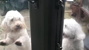 Dogs beg to come back inside in perfect unison