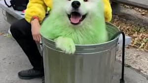 Samoyed dresses as Oscar the Grouch for Halloween