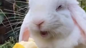 Adorable bunny enjoys sweet banana