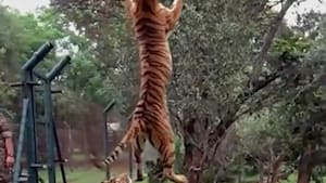 Stunning video shows tiger leaping for meat in slow motion