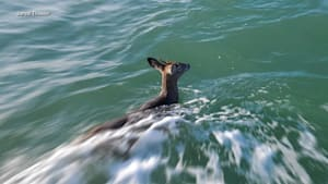 Lobster boat saves deer 5 miles offshore