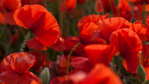 Rainbow Poppies Cause Social Media Uproar