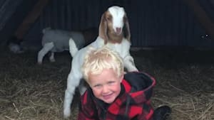 Toddler giggles while baby goat tries to climb him