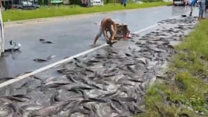 Truck spills 4,400 pounds of catfish on highway