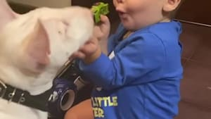 Baby and mini Bull Terrier adorably play together