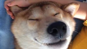 Shiba Inu preciously naps with toddler