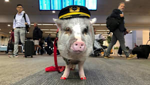 First airport therapy pig eases pre-flight anxiety