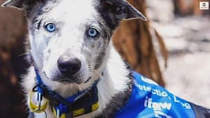 Hero dog uses his nose to find koalas in bushfires