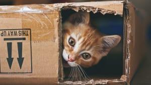 Wissenschaftler decken auf: Deswegen klettern Katzen so gerne in Kartons