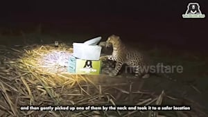 Three lost leopard cubs reunited with their mother