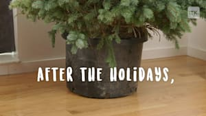 Find out how to keep your Christmas tree alive long after the holidays are over