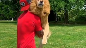 Golden leaps into his owner's arms to greet him