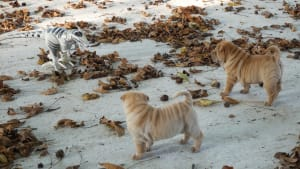 Shar Pei puppies confused by robot dinosaur