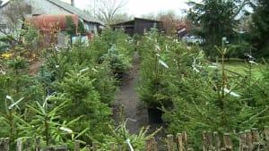 Weihnachtsbäume zum Mieten
