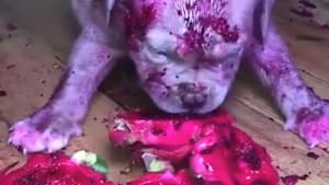 Adorable puppy covers himself with red dragonfruit