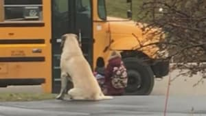 Little girl's huge dog waits with her for the bus