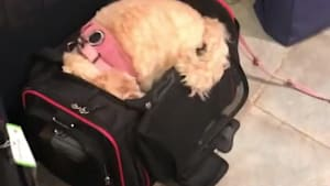 Dog tries to go on trip with owners