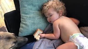 Dog cautiously steals sandwich from sleepy toddler