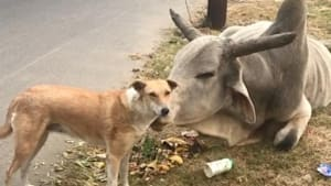 Stray bull comforts stray dog in moving moment